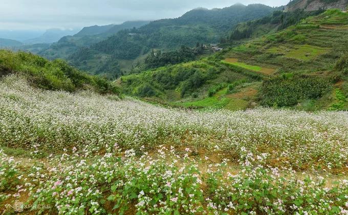 Giữa tháng 10, hoa tam giác mạch nở rộ trên khắp cao nguyên Đồng Văn. Du khách tới vùng cực bắc của Hà Giang sẽ được trải nghiệm cái se lạnh của mùa thu cùng khung cảnh những ruộng hoa trắng xen lẫn phớt hồng trải rộng trên triền núi.