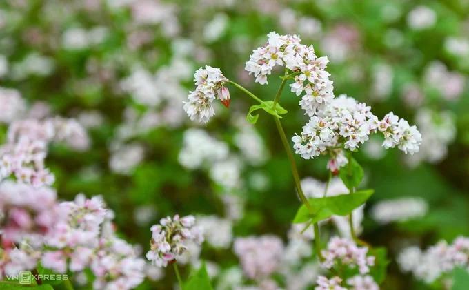 Mùa hoa tam giác mạch dài hơn một tháng, với sắc hoa thay đổi liên tục. Những bông hoa mang màu trắng khi mới nở, chuyển dần sang hồng tím rồi đỏ sẫm khi kết hạt vào cuối mùa. Khi còn non, cây tam giác mạch được người dân hái về luộc ăn như rau hàng ngày. Những hạt mạch sau khi thu hoạch là nguyên liệu cho nhiều thực phẩm đặc trưng của vùng cao, nổi tiếng nhất là bánh và rượu tam giác mạch.