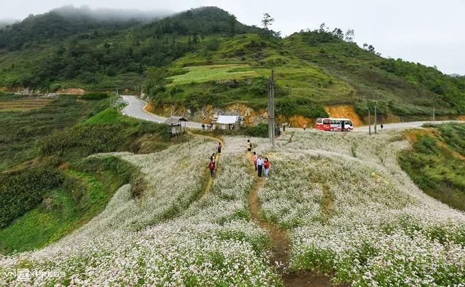 Nhóm khách du lịch dừng chân chụp ảnh tại một đồi hoa tam giác mạch nằm ở ven con đường nối thị trấn Đồng Văn với xã Lũng Cú. Hầu hết ruộng hoa đều do người dân địa phương trồng và chăm sóc. Khách muốn vào bên trong phải trả phí tham quan với giá chung là 10.000 đồng mỗi người.