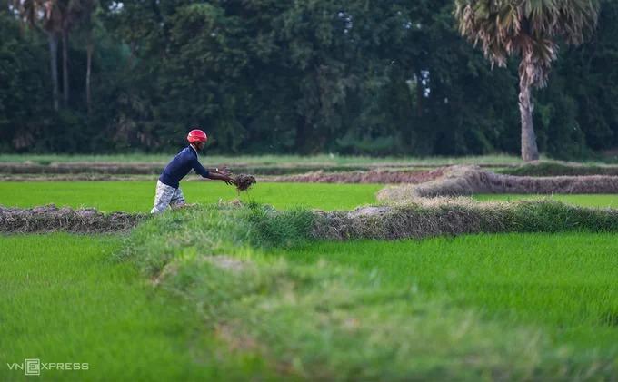 Một người dân đắp bờ để ngăn cách và tạo lối đi giữa các thửa ruộng.
