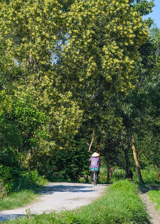 Mùa hoa tràm nở rộ bên con đường đất chạy xuyên qua cánh đồng Tà Pạ.