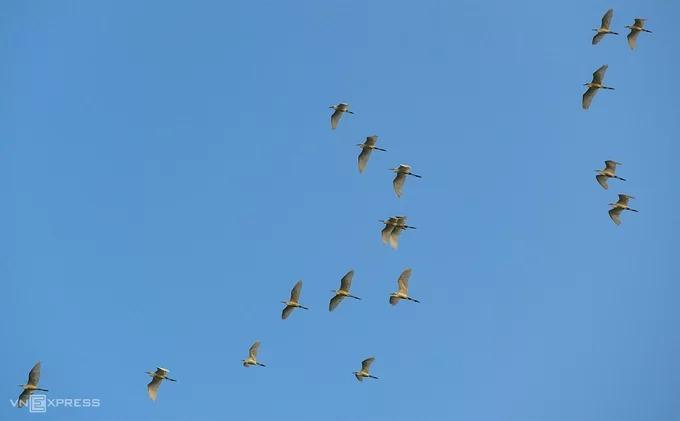 Vào lúc chiều muộn, du khách nán lại những cánh đồng ở An Giang có thể thấy cảnh đàn cò về tổ, lũ lượt nối đuôi nhau qua ngọn cây thốt nốt.