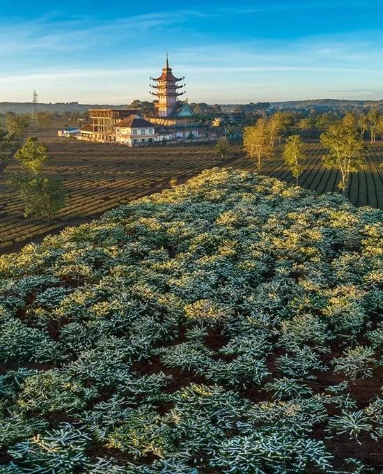 """Mùa hoa cà phê nở trắng trên nương rẫy và tháp chùa Bửu Minh phía xa. Mỗi năm, hoa cà phê thường nở khoảng 2-3 đợt, từ tháng 12 đến tháng 3 năm sau, mỗi đợt kéo dài từ 7 đến 10 ngày. Sáng sớm là lúc lý tưởng để du khách """"săn"""" hoa cà phê. Nhờ đặc điểm thổ nhưỡng là đất đỏ bazan màu mỡ, mảnh đất này trở thành một trong những """"thủ phủ cây cà phê"""" ở Tây Nguyên."""