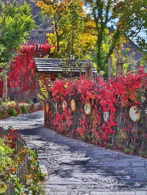 Từng ngóc ngách trong thị trấn Gubei đều có thể biến thành địa điểm check in tuyệt đẹp với màu đỏ của lá cây dây leo bám quanh hàng rào, phía trên cao là cây ngân hạnh vàng rực.