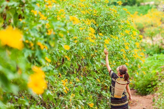 Nữ du khách trong trang phục của người dân tộc vùng Tây Nguyên tạo dáng bên những con đường hoa dã quỳ.