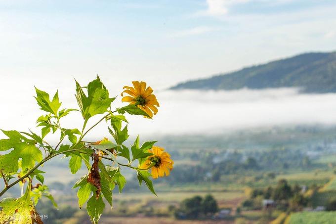 Dã quỳ khoe sắc trong nắng sớm. Hoa còn có các tên gọi khác như cúc quỳ, sơn quỳ... thuộc họ cúc, có màu vàng cam. Cuối tháng 10 đến đầu tháng 11 hàng năm, loài hoa này đồng loạt bung nở trên nhiều địa phương của Việt Nam, như vườn quốc gia Ba Vì (Hà Nội) và các tỉnh Lâm Đồng, Gia Lai.