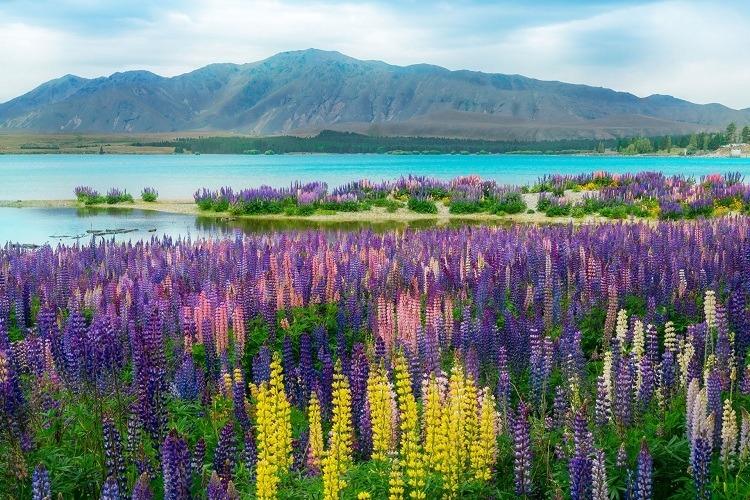 Dải màu sắc rực rỡ từ các bông hoa lupin.