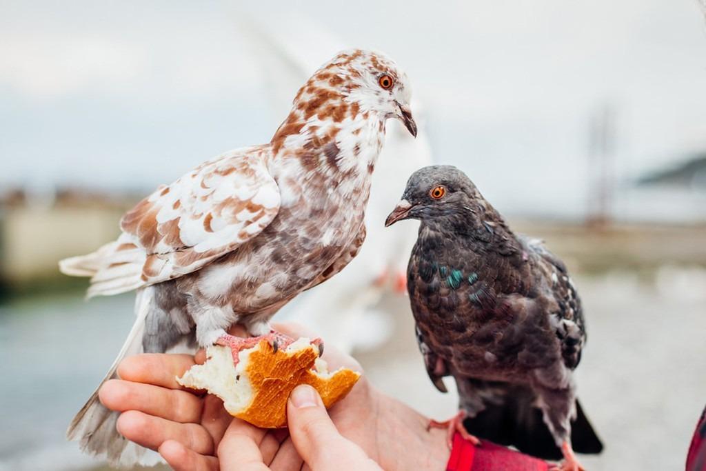 Đến Singapore, nếu du khách cho chim bồ câu ăn sẽ phải nộp phạt 500 SGD (khoảng 8 triệu đồng). Ngoài ra, việc thả diều hay tổ chức các trò chơi gây cản trở giao thông cũng có thể bị phạt tới 5.000 SGD (tương đương 83 triệu đồng). Ảnh: Unsplash.