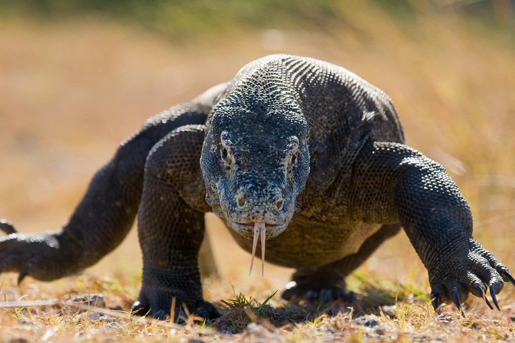 Hồi tháng 4, đảo Komodo (Indonesia) thông báo cấm khách du lịch trong một năm vì sợ tác động xấu đến loài rồng Komodo. Bộ Môi trường và Lâm nghiệp Indonesia cho biết họ từng bắt được những kẻ trà trộn để trộm rồng, bán ra chợ đen với giá 35.000 USD/con. Đảo Komodo là nơi cư trú của 1.800 cá thể rồng. Chúng là loài bò sát lớn nhất thế giới, có thể nặng tới 90 kg và dài 3 m. Ảnh: Affar.