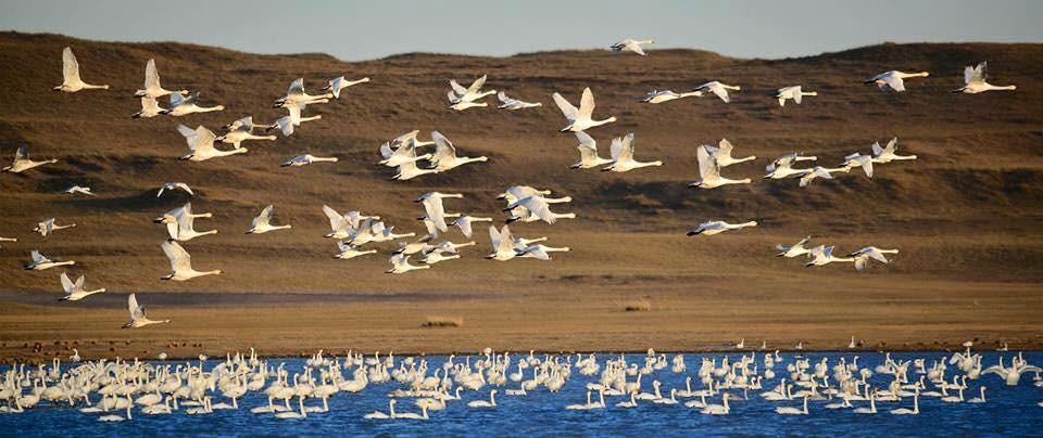 Vào tháng 9, bạn sẽ được chứng kiến hàng nghìn con thiên nga và những loài chim di cư khác dừng chân bên những hồ nước của Mông Cổ trong hành trình về phía nam. Bạn sẽ thấy cả những loài thường không sinh sống tại các quốc gia không tiếp giáp biển. Ảnh: News.