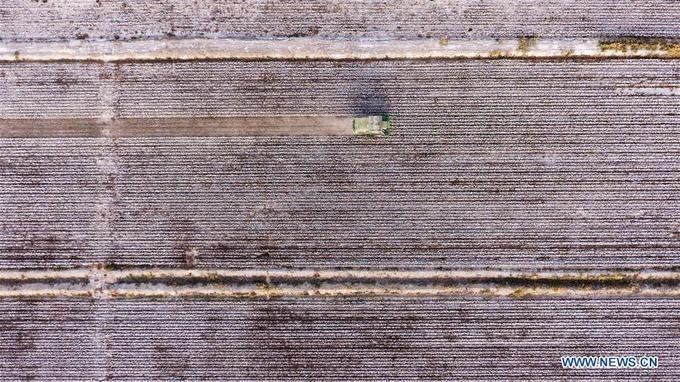 """Tháng 10 là mùa thu hoạch cây bông vải ở khu tự trị Tân Cương, Tây Bắc Trung Quốc. Huyện Awat được xem là """"thủ đô bông vải"""" ở đất nước tỷ dân khi đóng góp sản lượng bông sợi lớn nhất cả nước. Vào mùa, cả huyện được phủ một màu trắng như tuyết. Đây cũng là dịp Tân Cương thu hút khách du lịch tới chụp ảnh, tham quan."""