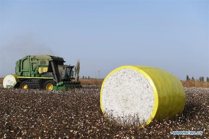 Bông được cuộn thành những cuộn lớn, chất trên cánh đồng, sau đó xe kéo sẽ vận chuyển chúng về nhà máy.