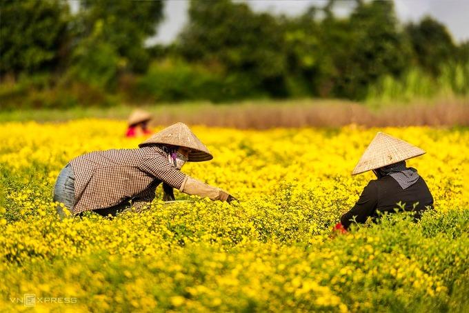 Người dân cho biết, chỉ có hoa cúc trồng ở đây mới tạo ra vị đặc trưng và sản lượng lớn. Nhiều nơi đã đưa hoa về trồng thử nhưng nở to như cái chén, không mùi hương.