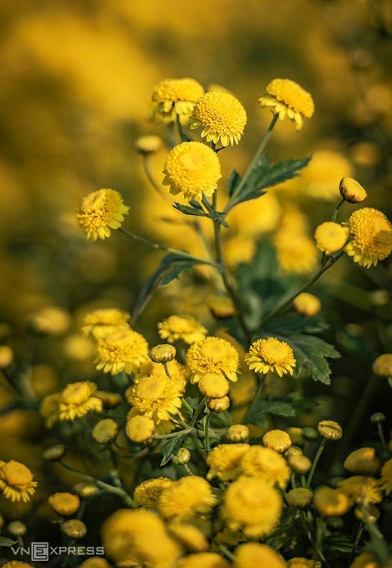 """Cúc chi (hay kim cúc, hoàng cúc) còn có tên gọi khác là """"cúc tiến vua"""" bởi ngày xưa, loài hoa có tác dụng thanh nhiệt, tiêu độc, mát gan được lựa chọn để dâng lên vua chúa. Cách sử dụng cúc chi phổ biến là pha trà uống hoặc làm dược liệu cùng các vị thuốc khác."""