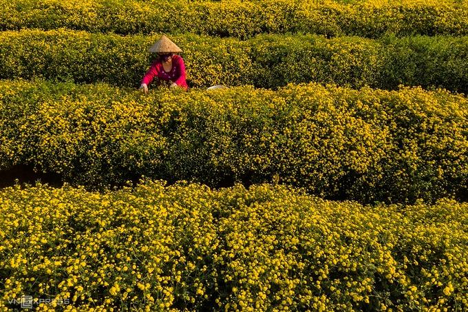 """""""Mùa thu hoạch là lúc những ruộng cúc trở nên nhộn nhịp khi người dân cùng nhau hái hoa. Đây là công việc yêu thích của họ, đồng thời mang tới thu nhập"""", anh Thạch cho biết thêm.  Một người có thể hái được 20 - 30 kg hoa mỗi ngày. Cúc tươi bán tại chỗ có giá khoảng 50.000 đồng một kg."""