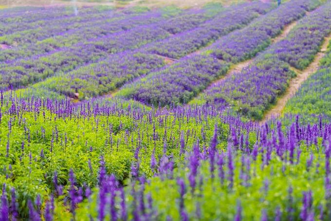 Hoa được trồng theo luống, giúp cây phát triển tốt và khách tiện tham quan, chụp ảnh. Được mệnh danh là nữ hoàng bởi loại hoa này có sức sống mạnh liệt, khi nở, vòi hoa có thể dài đến 40 cm.
