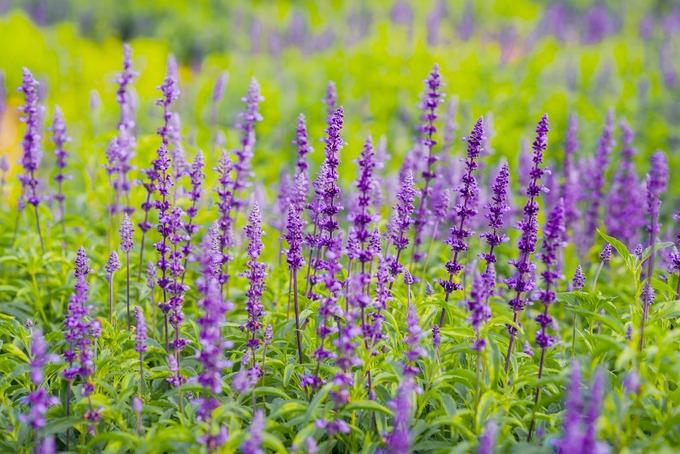 Hoa nở thường có màu xanh vào buổi sáng và chiều lại chuyển dần sang màu tím. Do đó, nhiều người nhầm hoa này với lavender (oải hương) ở châu Âu.