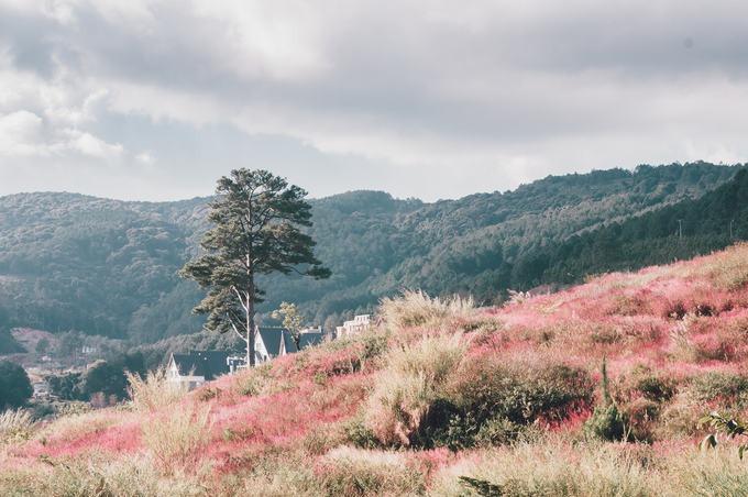 Bạn dễ dàng bắt gặp những bụi cỏ ở ven đèo Mimosa hay cung đường đi Suối Vàng. Nhưng để có một phông nền chụp ảnh ưng ý, bạn chịu khó chạy xe vào khu du lịch nằm bên hồ Tuyền Lâm. Ở đây, người ta tạo điều kiện cho cỏ đuôi chồn mọc trên đồi, đồng loạt chuyển hồng khi đúng thời điểm.