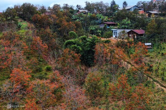Cuối năm, nhiều loài cây trên vùng cao nguyên Langbiang đến mùa thay lá. Một trong những điểm đến đang được yêu thích gần Đà Lạt là vườn hồng ở huyện Lạc Dương với sắc đỏ, vàng tạo nên khung cảnh như mùa thu xứ ôn đới.