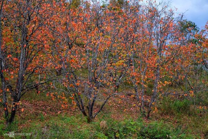Những ngôi nhà của người dân tộc Cil, xã Đa Nhim, huyện Lạc Dương nằm nép mình bên vườn hồng rực lá đỏ. Sau khoảng hai tuần lá sẽ rụng sạch, cây hồng chỉ còn trơ cành chờ khi đâm chồi nảy lộc vào mùa xuân.