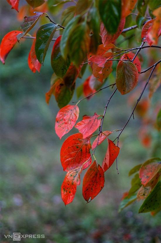 Anh Phan Tấn Đạt (Đà Lạt), tác giả bộ ảnh, cho biết mùa lá đỏ qua rất nhanh. Chỉ những du khách may mắn đến phố núi đúng dịp mới có thể chiêm ngưỡng cảnh tượng thiên nhiên này.