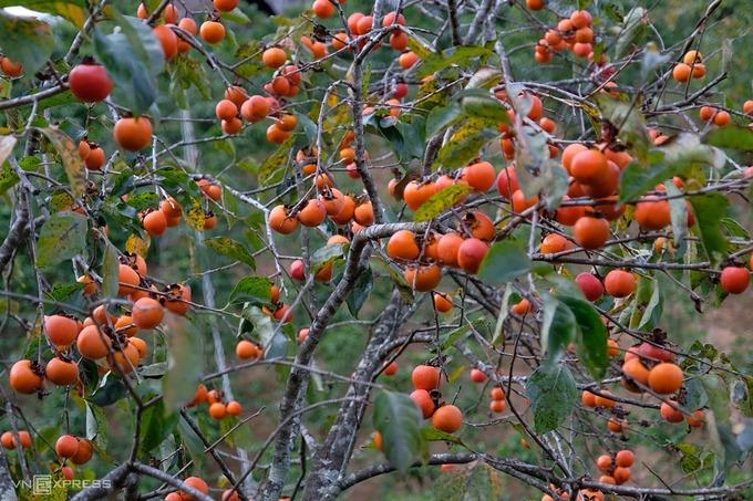 Một góc vườn hồng đầy trái chín những ngày cuối tháng 11. Đa phần người dân hái hồng rồi mang ra chợ bán thay vì kinh doanh tại nhà. Một phần quả thu hoạch được dùng làm hồng treo gió.