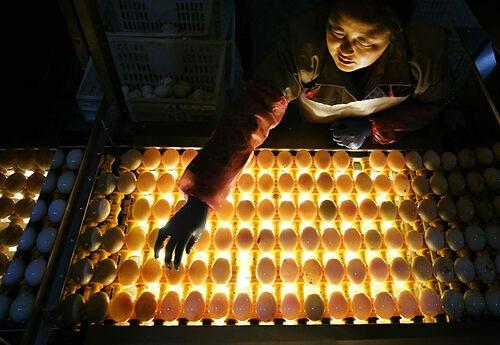 Trước khi có trang thiết bị hiện đại hơn, người nông dân Cao Bưu sẽ soi trứng vịt bằng nến. Ngày nay những trang trại lớn dùng băng chuyền lắp đèn, và nhiều nơi đang nghiên cứu các thuật toán để áp dụng công nghệ thị giác máy tính, nhận dạng trứng hai lòng. Ảnh: Alamy.