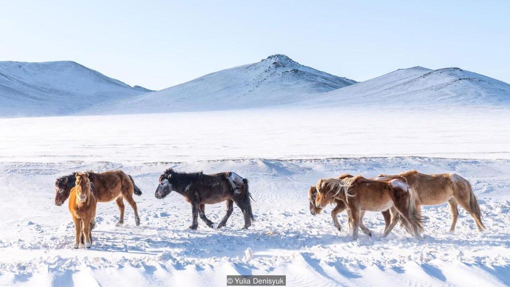 Ngựa đóng vai trò quan trọng trong đời sống du mục của người Mông Cổ. Người dân ở đây chăn thả ngựa tự do trên các cánh đồng, thảo nguyên. Mùa đông khắc nghiệt cũng là thời điểm cuộc sống của những đàn gia súc, động vật gặp nhiều khó khăn. Mùa hè khô cằn, mùa đông lạnh giá kéo dài là nguyên nhân dẫn đến tình trạng thiếu cỏ cho đàn gia súc.