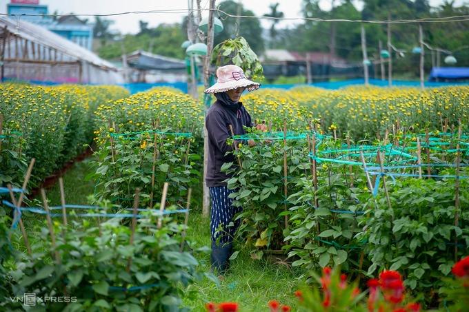 Làng hoa thuộc phường Chánh Lộ mới phát triển vài năm gần đây, là nơi tập kết nhiều hoa nhất Quảng Ngãi dịp Tết.