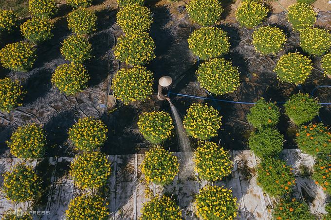 Dịp Tết, trên các thửa ruộng còn có sự xuất hiện của nhiều tay máy và các nữ du khách tới chụp ảnh. Nam du khách trong hình sử dụng thang để có góc máy cao hơn, ghi lại mùa hoa tại xã Tịnh Khê, cách trung tâm TP Quảng Ngãi khoảng 14 km.