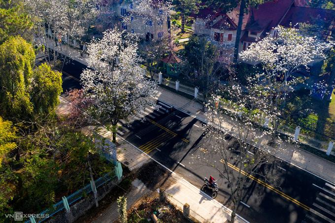 Ban trắng từng được coi là loài hoa đặc trưng của núi rừng Tây Bắc, nhưng đến nay đã trở thành một phần gắn liền với thành phố trên cao nguyên Lâm Đồng.