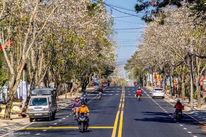 Tại Đà Lạt, hoa ban được trồng nhiều tại các khu vực như đường Quang Trung, Trần Phú, ga Đà Lạt, ngã tư Phan Chu Trinh, nhà thờ Con Gà...