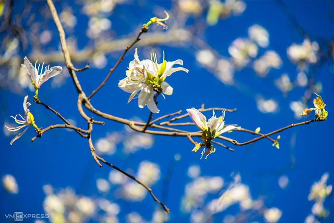 Hoa ban nở từ mùa xuân đến đầu hạ. Nhiều du khách cho rằng, thời gian phù hợp nhất để đến Đà Lạt ngắm ban trắng là lúc gần Tết Nguyên đán hàng năm, khi hoa nở đẹp nhất.
