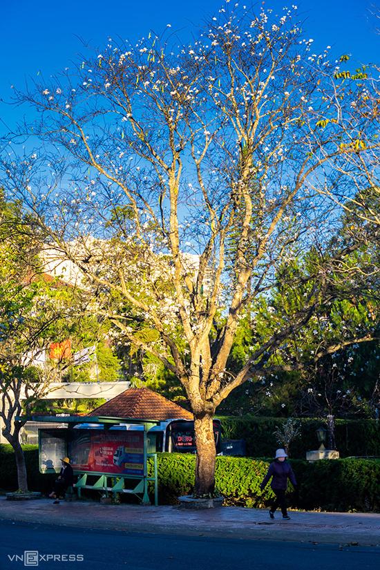 Khoảng năm 2007, địa phương đã lấy giống cây từ Tây Bắc để trồng trong thành phố. Từ đó, những mùa ban trắng dần gắn bó với nơi này và hút khách du lịch.