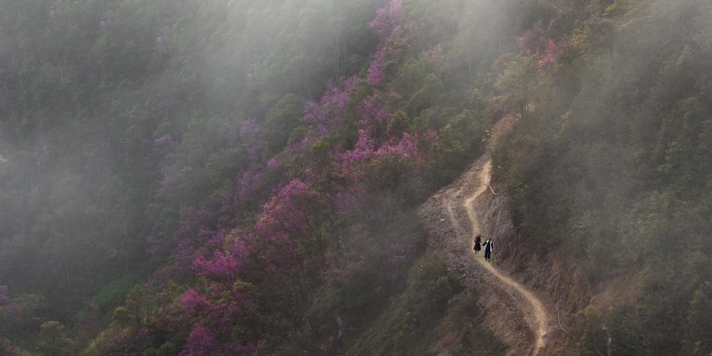 Ở độ cao 1.000 m so với mực nước biển, tớ dày là loài hoa truyền thống mang sắc hương đặc trưng của mùa xuân vùng Tây Bắc. Không rõ loài cây này có từ bao giờ, chỉ biết bao thế hệ người H'mông nơi đây đã được chiêm ngưỡng từ khi sinh ra. Ảnh: Lê Trung Kiên.
