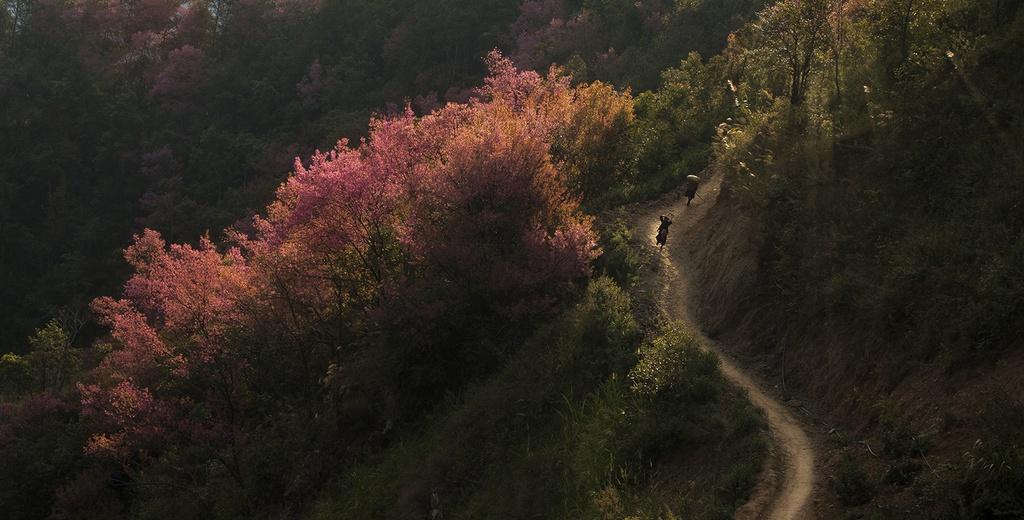 Đồng bào H'mông qua một năm lao động chăm chỉ, thóc đã đầy nhà, nhìn lên đỉnh núi thấy tớ dày nhuộm đỏ núi rừng thì biết đã đến mùa chơi Tết, du xuân. Ảnh: Lê Trung Kiên