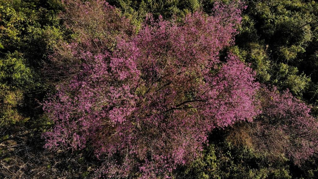 Đây cũng là thời điểm phù hợp cho tâm hồn mê xê dịch chìm đắm trong cảnh sắc nên thơ của núi rừng, để cả cơ thể thấm đẫm hương hoa và sở hữu những bức ảnh đẹp hiếm có. Các cặp đôi cũng không nên bỏ lỡ cơ hội ghi lại kỷ niệm đáng nhớ trong bộ ảnh cưới lung linh giữa rừng tớ dày trăm dặm. Tớ dày mùa này đẹp nhất ở La Pán Tẩn, vừa ngắm hoa, vừa thưởng thức nét đẹp đầu xuân ngọt ngào hẳn sẽ tạo nên những trải nghiệm khó quên.