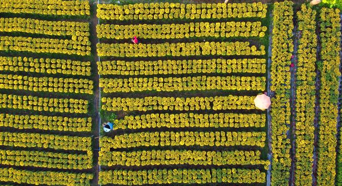 Vườn trồng nhiều loại hoa như cúc mâm xôi, cúc Hà Lan, vạn thọ, mào gà, nằm xen giữa những hàng dừa và nhà dân.