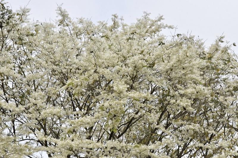 Những cây hoa sưa đang độ nở rộ trên phố Điện Biên Phủ trắng như bông.