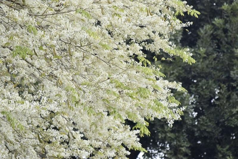 Hoa sưa trắng muốt giữa không gian cây cối đa sắc cho vẻ đẹp rất sinh động.