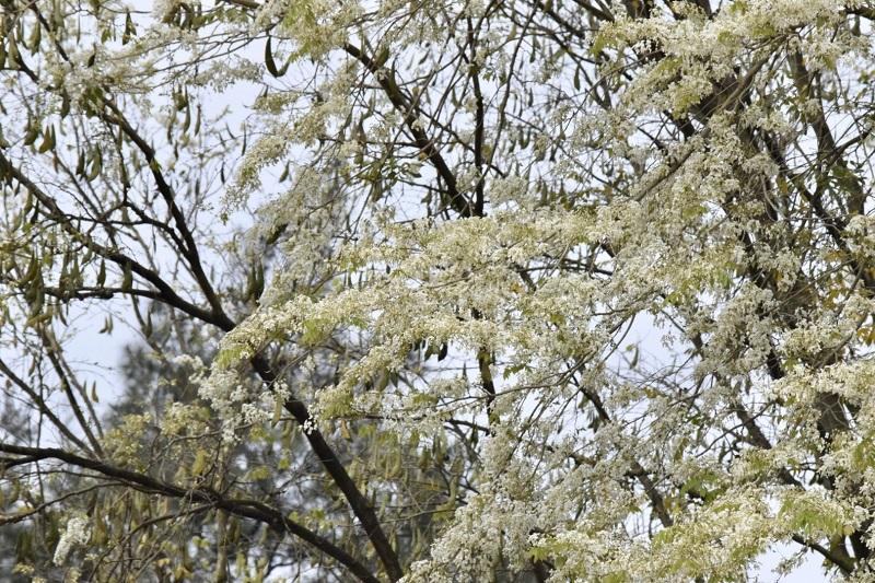 Chỉ khoảng một tuần sau khi hoa nở, những cánh hoa sưa mỏng manh thả mình bay theo gió, tạo cho những con đường trắng những sắc hoa.