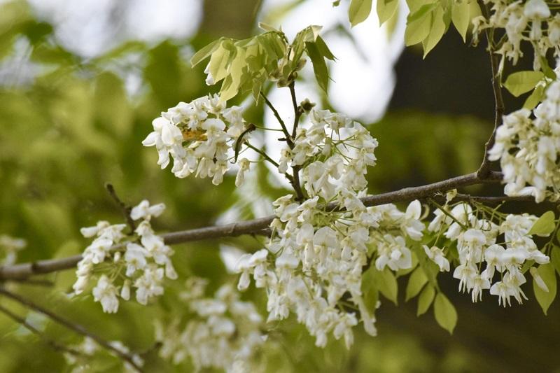 Những ngày cuối tháng 2, dạo bước trên phố phường, người dân Thủ đô hay du khách đều mê mẩn trước vẻ đẹp dịu dàng, tinh khôi của loài hoa này.