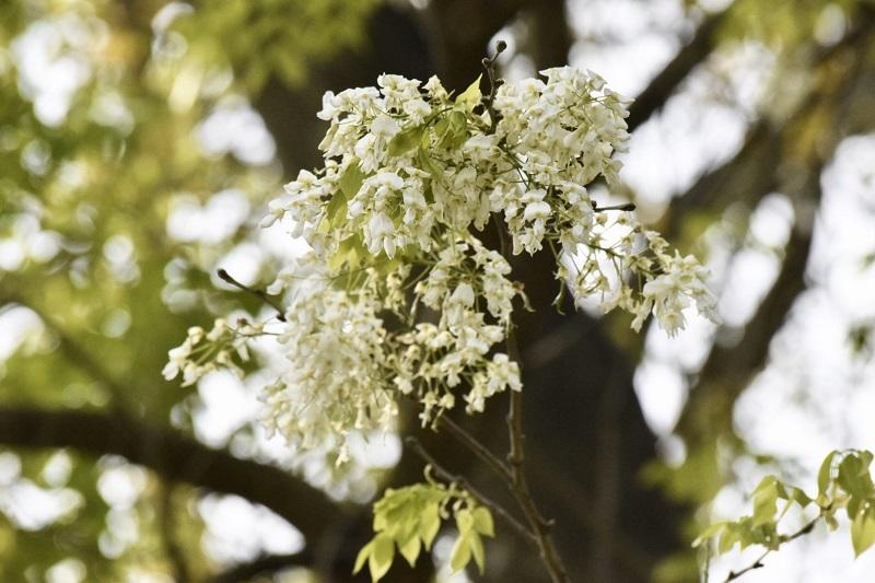 Những bông hoa nhỏ xíu mỏng manh chớm hé rồi dần dần bung nở thành từng chùm trắng muốt, làm ngây ngất ánh nhìn của du khách.