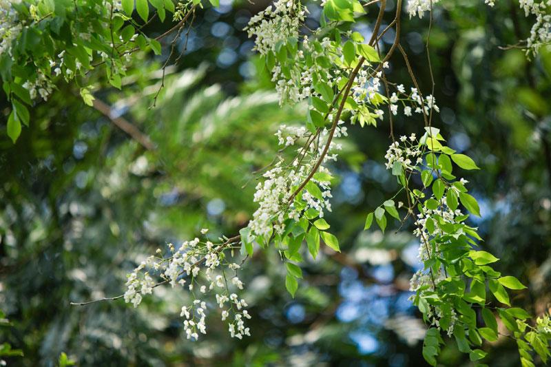 Hoa sưa mang vẻ đẹp trong sáng với nét quyến rũ rất riêng, sẽ chẳng ở đâu bạn bắt gặp một được mùa hoa sưa đẹp như ở Hà Nội.