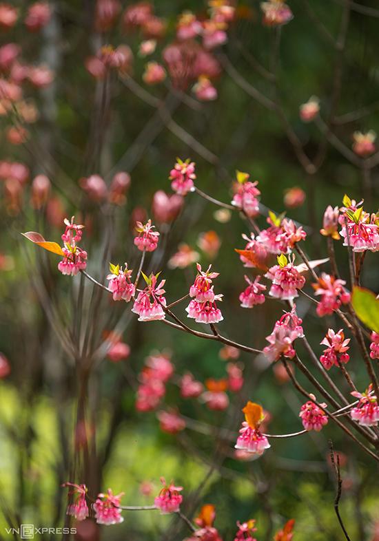 Chùm hoa đang nở rộ như những chiếc chuông đung đưa trong gió. Chính vì hình dáng của loài hoa này mà người dân địa phương gọi nó với cái tên đào chuông.