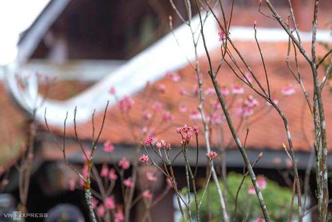 Đào chuông được ví như biểu tượng của vùng núi Chúa, thuộc huyện Hoà Vang, cách thành phố Đà Nẵng khoảng 25 km về hướng tây nam. Tại khu du lịch trên đỉnh núi, du khách có thể tìm thấy đào chuông ở Trú Vũ Trà Quán, Lĩnh Chúa Linh Từ, chùa Linh Phong và Trú Vũ Đài.