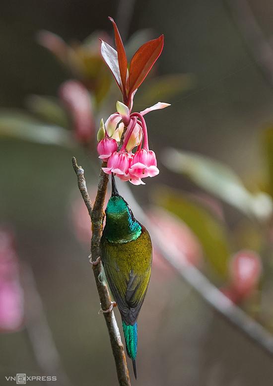 Mùa hoa đào chuông còn lôi kéo những loài chim hút mật tới kiếm ăn. Nhiều tay máy lên Bà Nà dịp này còn muốn chụp lại loài chim bé nhỏ, nhiều sắc màu mải mê tìm mật ngọt giữa ngàn hoa.