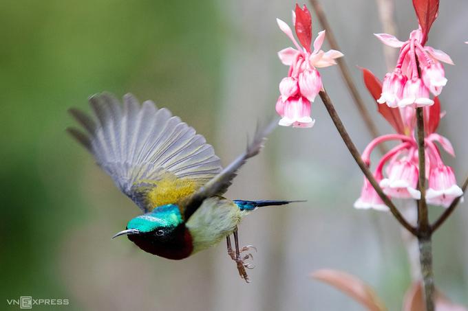 Sắc màu chim hút mật và hoa đào chuông nên bức tranh mùa xuân trên đỉnh Bà Nà.