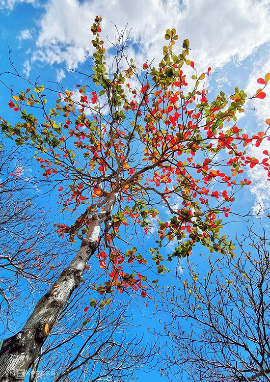 """Cây bàng lá đỏ """"vươn mình"""" trên nền trời xanh."""