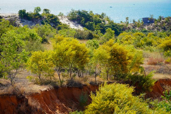 """Rừng hoa tràm vàng hiện là điểm """"check-in"""" không thể bỏ qua đối với du khách đến Bình Thuận. Những ngày này, tất cả rừng keo lá tràm dọc đường ven biển từ Phan Thiết ra Phan Rí đồng loạt nở rộ hoa vàng, báo hiệu mùa xuân về. Trên ảnh là rừng keo nằm kề khu du lịch quốc tế Hàm Tiến - Mũi Né, cách TP Phan Thiết khoảng 12 km."""